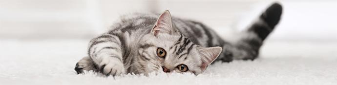 urin aus dem teppich entfernen biodor animal. Black Bedroom Furniture Sets. Home Design Ideas